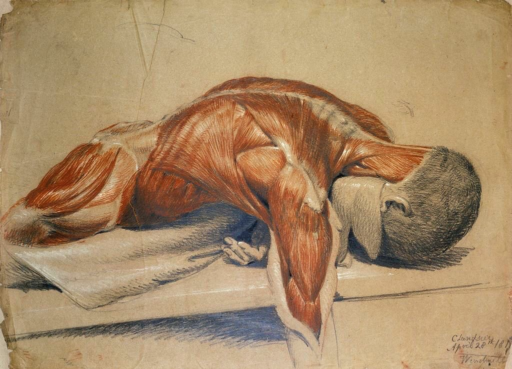 Ilustrații anatomice